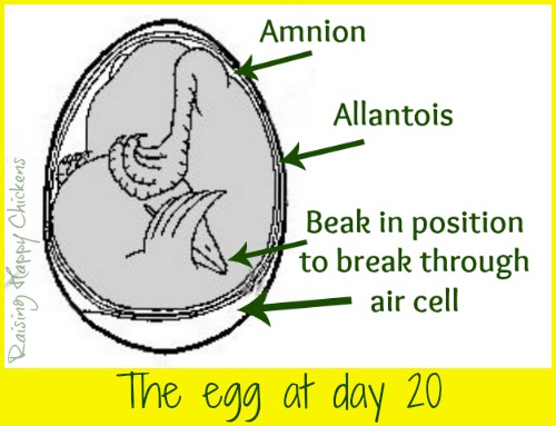 Inside a hatching egg at day 20.
