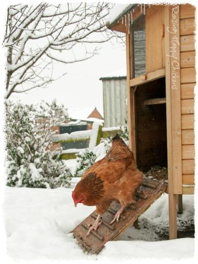 Chicken coming out of coop in snow.