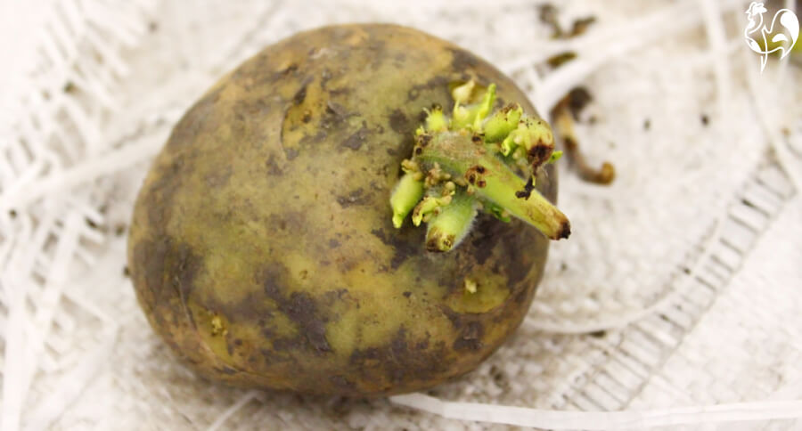 Green potatoes - another food chickens should not eat