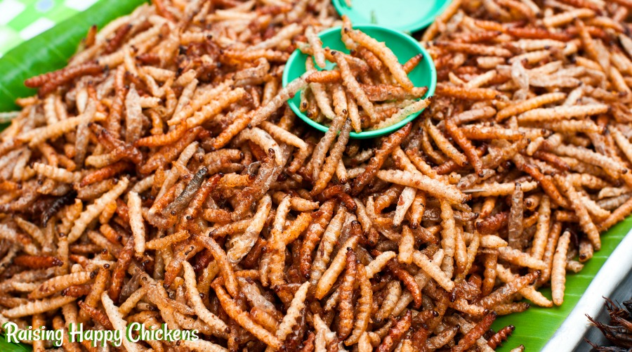 Mealworms - a high protein food chickens love.