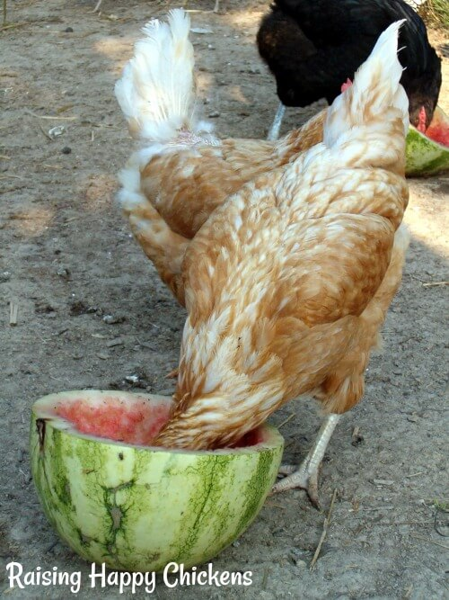 Chickens love watermelon as a cooling healthy summer treat.