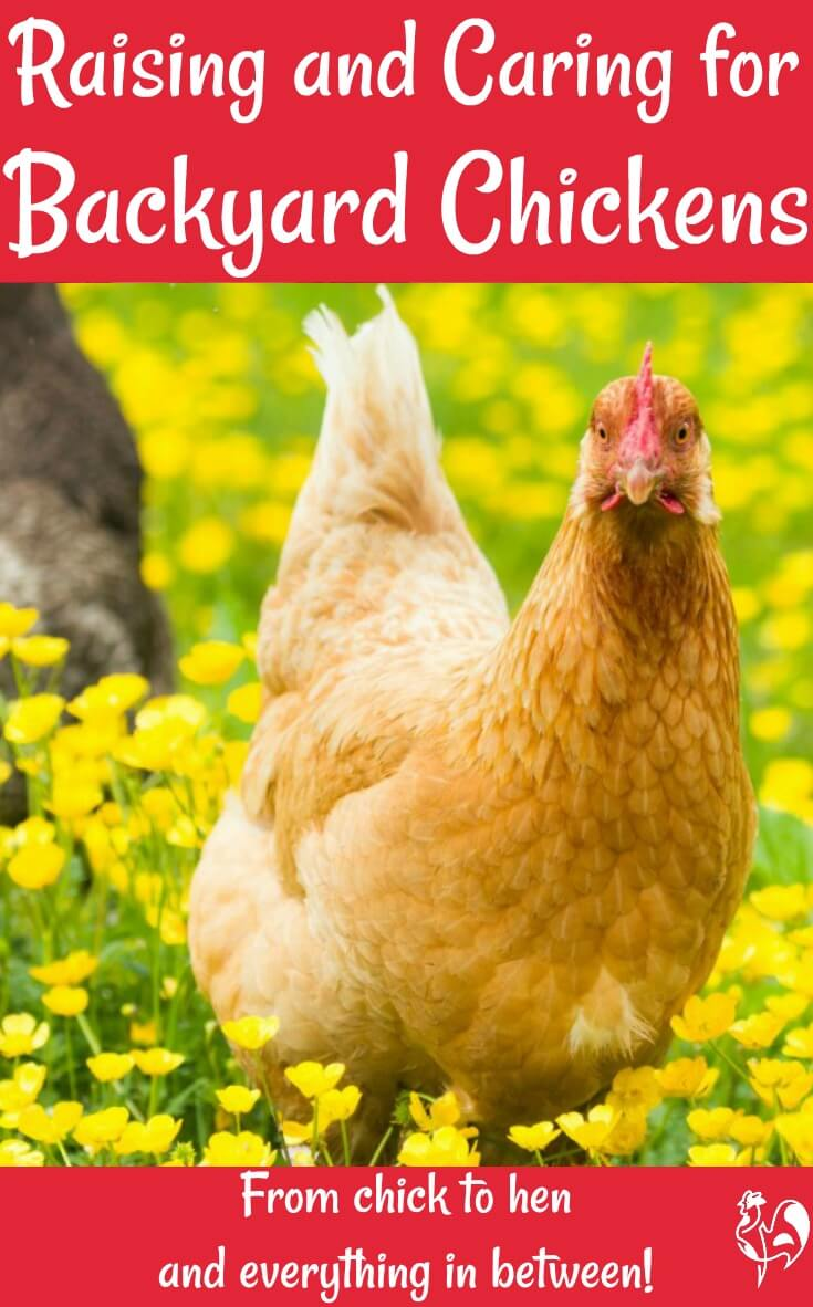 Raising backyard chickens - Pin for later.
