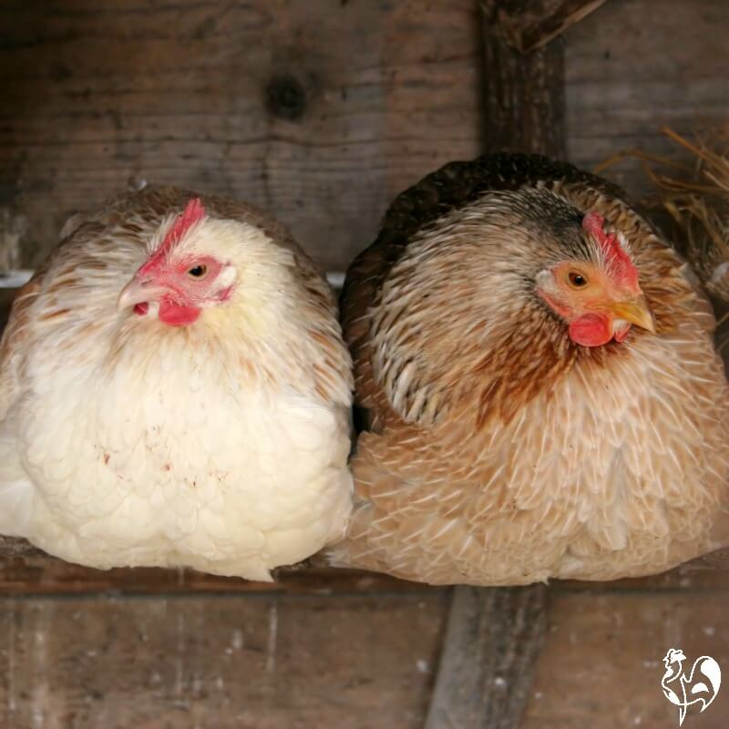 Two hens keeping warm on the roost.