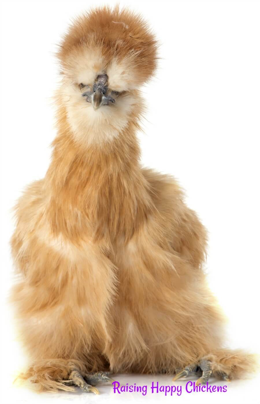 Silkie Chickens Why They Re The Teddy Bear Of The