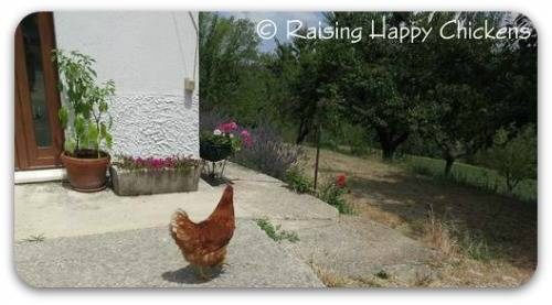 Chicken outside house