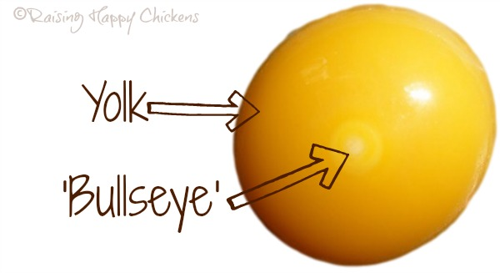 A fertilised chicken egg yolk showing the 'bullseye' or blastoderm.