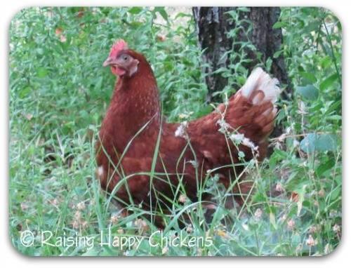 A Red Star chicken