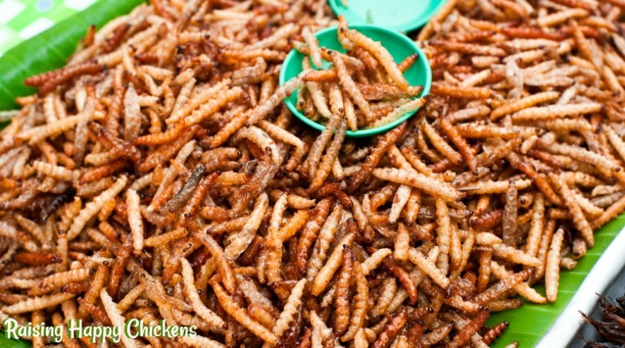 Mealworms - a high protein food chickens love. But when is the right time to feed them to your flock? Find out here!