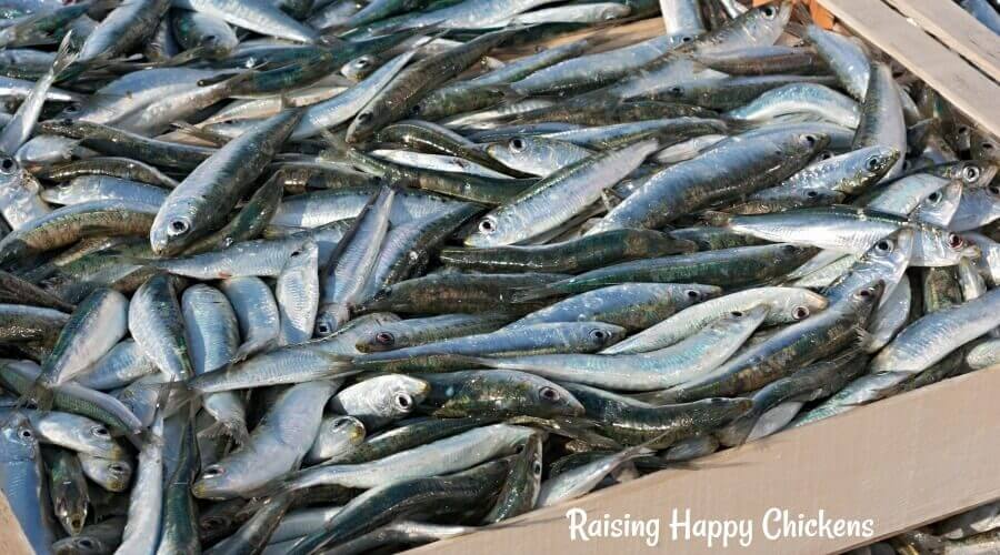 Sardines - a high protein fish chickens love!