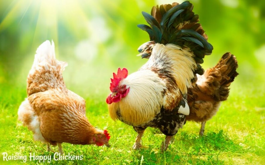 Free ranging hens need a balanced diet. Find out what to feed your flock, and when, to keep them healthy and happy.