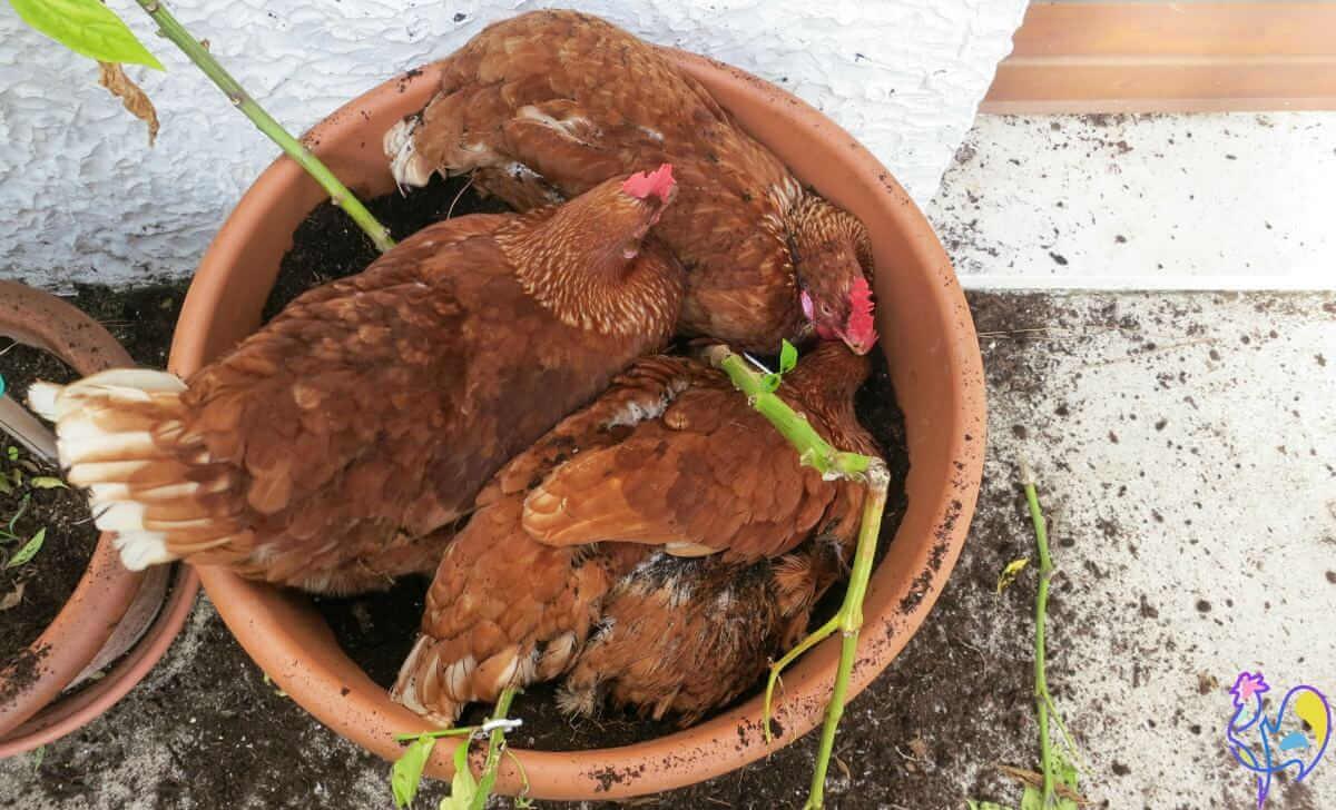 Chicken in the flowerpo