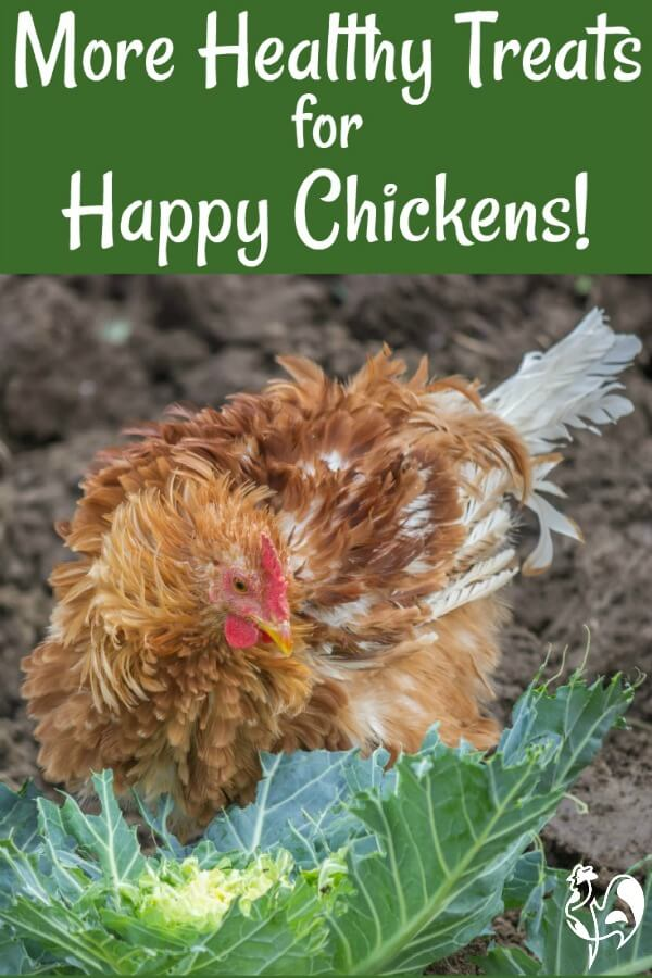 All about chicken treats: the second in my articles about what makes healthy treats to feed your flock at all times of the year and for all ages of chicken.
