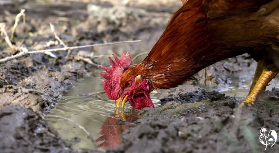 Chicken drinking from muddy pool.