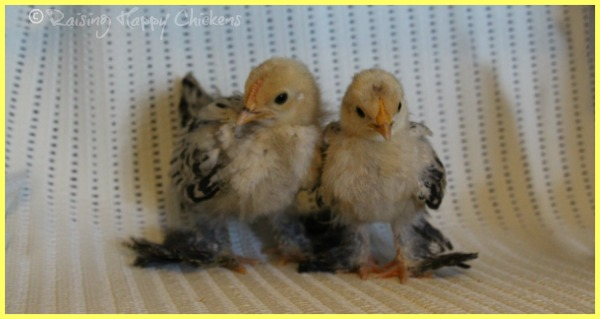 Two baby Sablepoot chicks aged 3 weeks.