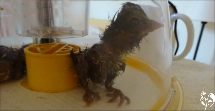 A chick having a hard time drying off may need to be moved to another incubator.