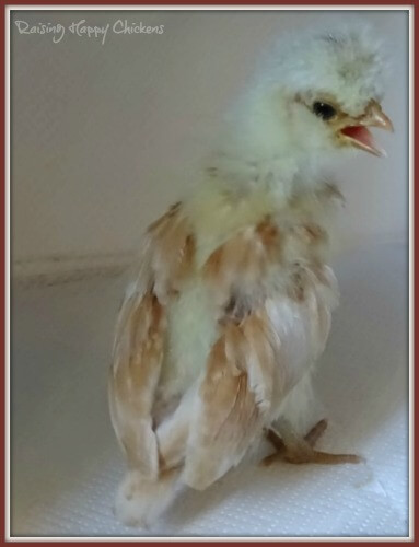 a 4 week old chick showing wing feathers and down.