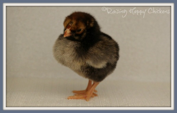 A three day old Wyandotte chick.