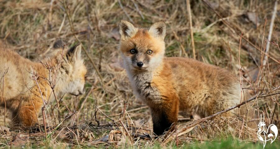 A young fox in the spring looking for food.