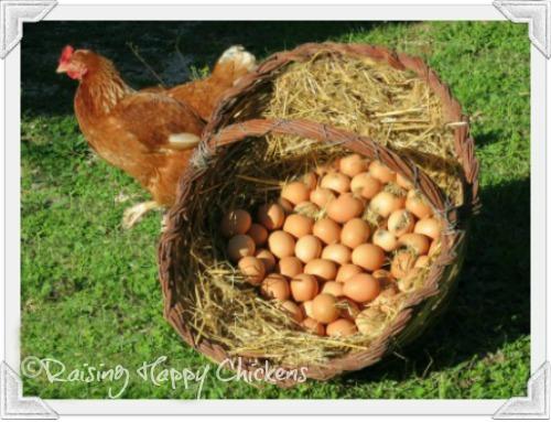 Basket of freshly laid eggs