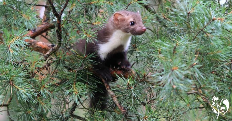 A beech marten in a pine tree.