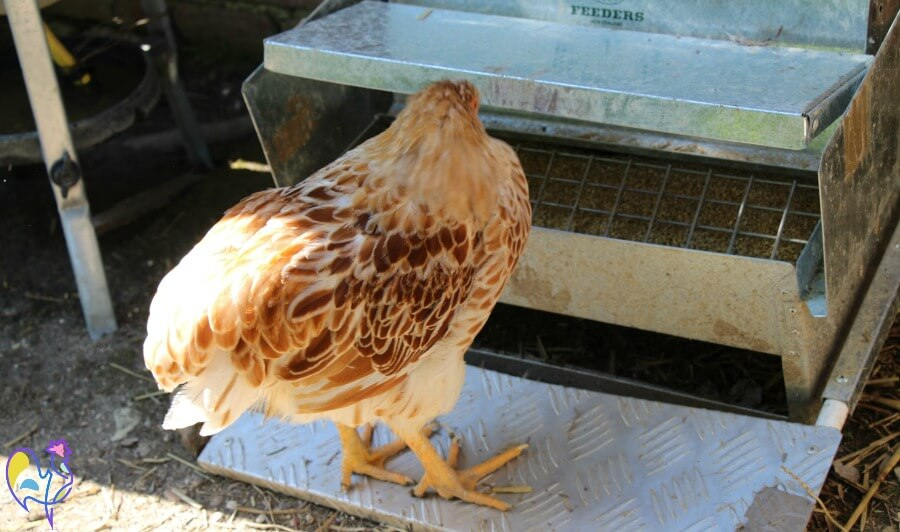 One of my hens eating from the automatic chicken feeder.