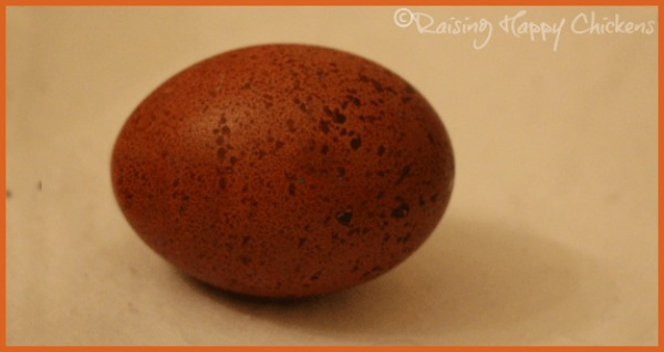 A Black Copper Marans hatching egg.