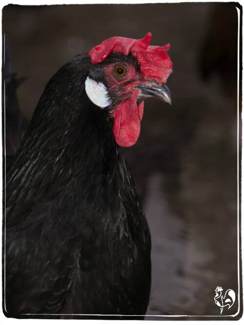 A black Leghorn hen with a floppy comb and white earlobes.