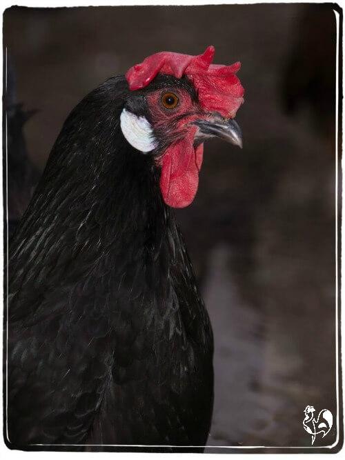 A black Leghorn hen