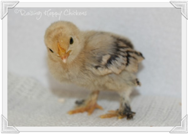A Booted Bantam chick