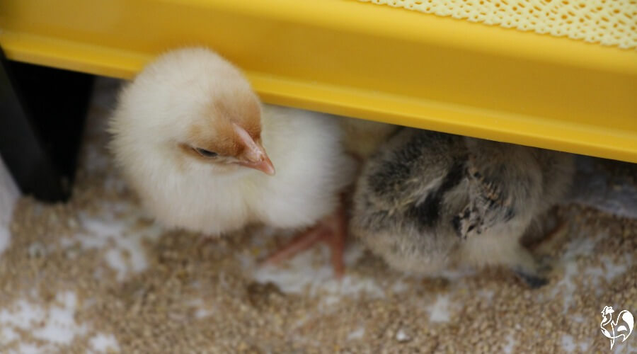 A one day old Wyandotte chick under a brooder lamp.