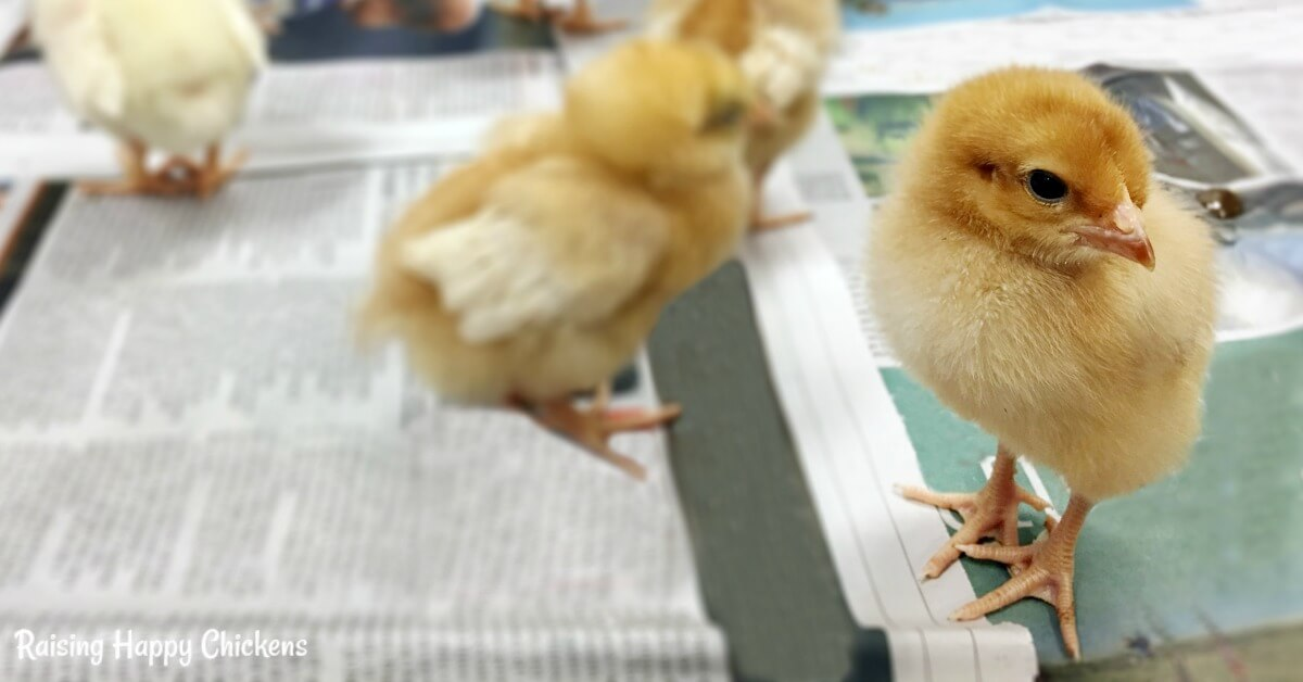 Newspaper: never, never use newspaper as a brooder bedding. Find out why, here.