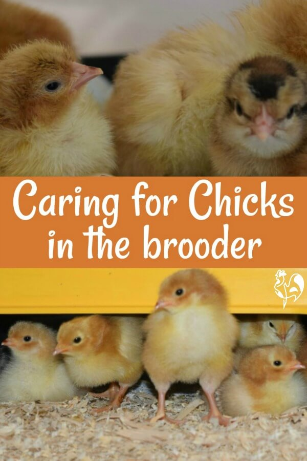 Brooding chicks - Pin for later.