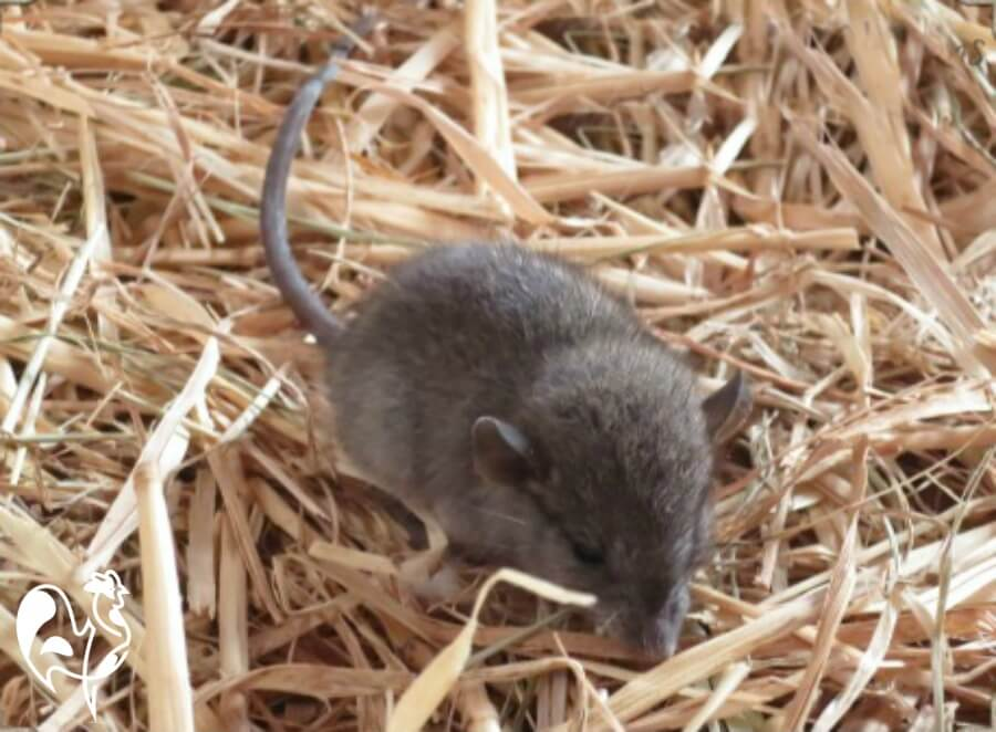 Brown rat nesting in straw.