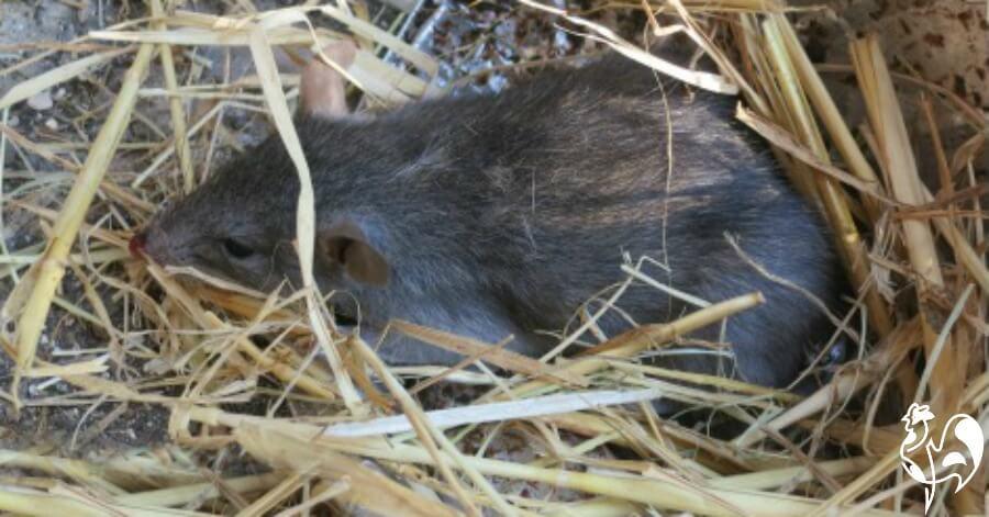Brown rat in chicken coop.