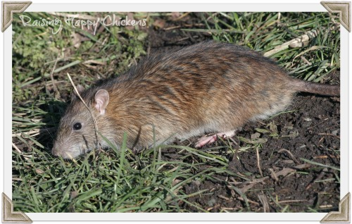 Brown rat in the chicken run.