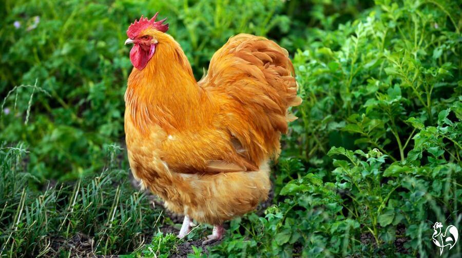 A Buff Orpington hen wandering through grass.