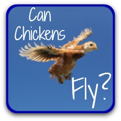 Can chickens fly? Link.