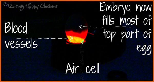 A chicken egg candled in a darkened room, 16 days into incubation.