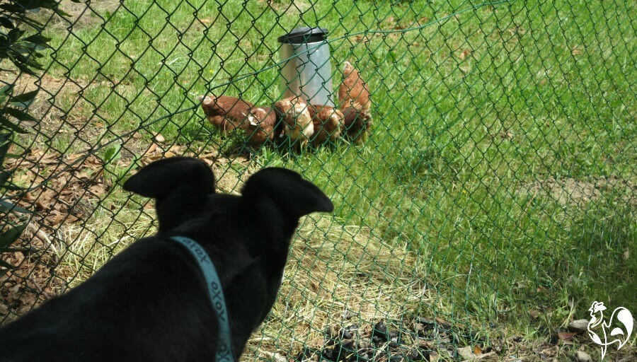 Most dogs view chickens as lunch.