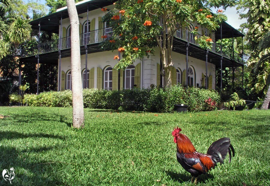 Chickens in a Florida neighbourhood