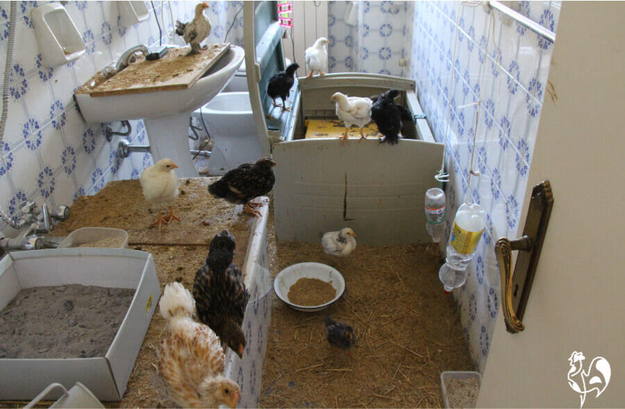 Young chicks in my bathroom with brooder.