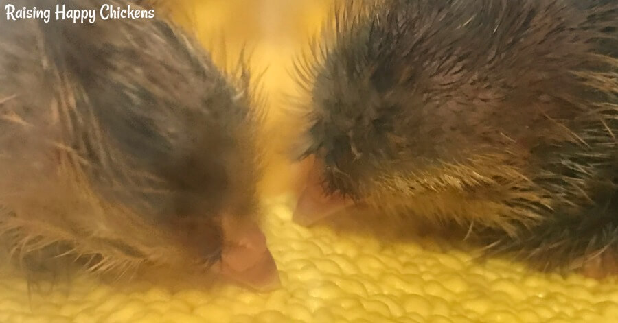 My baby chicks hatch onto plasticised shelf liner which stops their feet from slipping. Learn more about what bedding works best for chicks in the brooder, here.