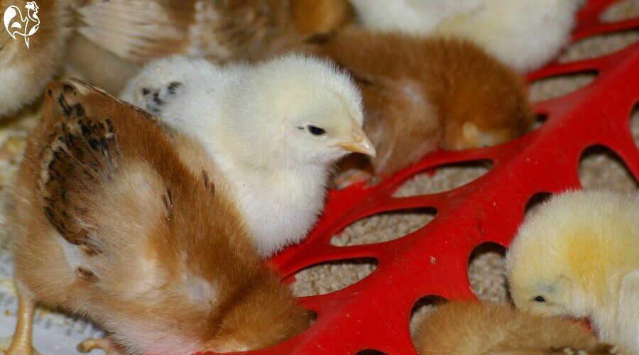 Feeders for more than three or four chicks benefit from being long to allow each one more room. Be sure you're giving the correct feed to young chicks - find out more, here.
