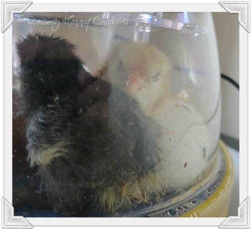 Hatching is tiring work!