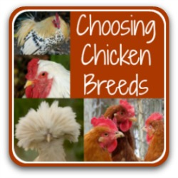 Choosing the right chicken breed for you - link.