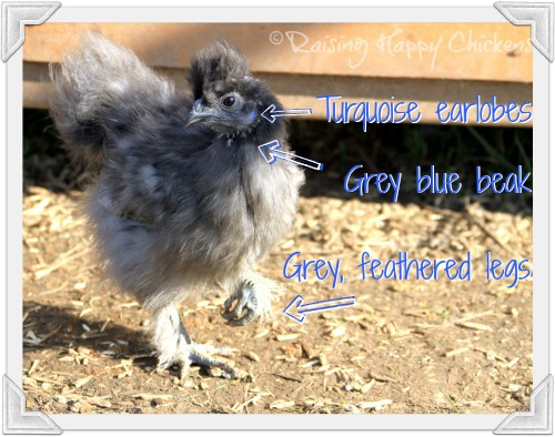 Features of a Silkie chicken
