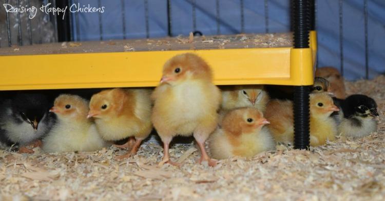 Baby chicks under brooder.