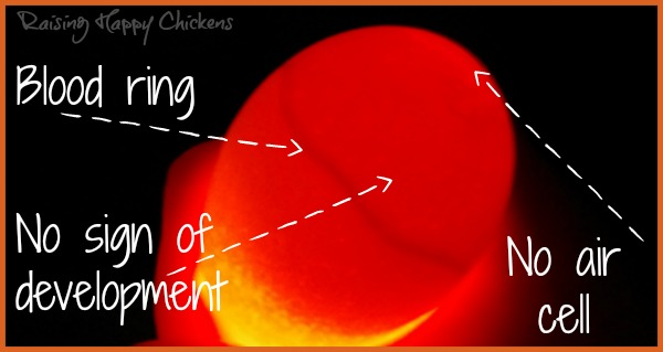 A chicken egg showing a blood ring.