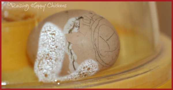 Hatching Chicks Your Questions Answered