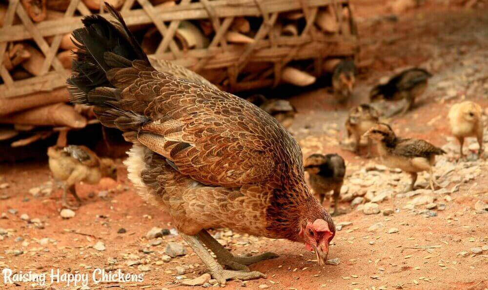 Baby chicks hatched by a broody will be shown by the mother hen what's good to eat and what's not. Free-ranging, they'll pick up grit naturally.
